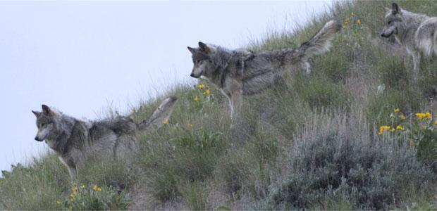 wolffact-post